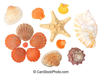 Seashells - seashells isolated on white background