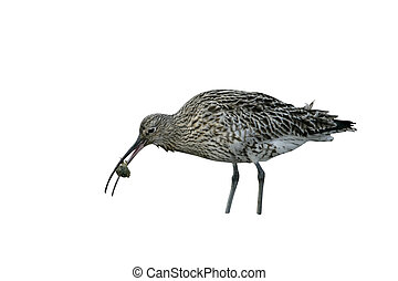 Curlew, Numenius arquata, single bird on mudflats feeding on...