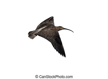 Curlew, Numenius arquata, flight, North Yorkshire, spring