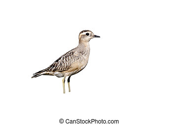 Dotterel, Charadrius morinellus, single juvenile on grass,...