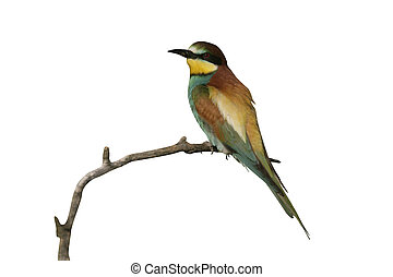 European bee-eater, Merops apiaster, single bird on branch,...