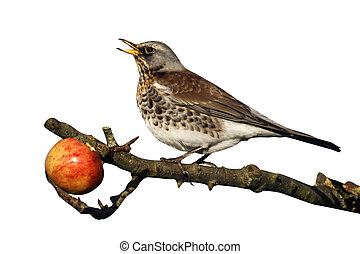 Fieldfare, Turdus pilaris, single bird on apples in tree,...