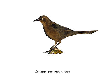 Great-tailed grackle, Quiscalus mexicanus, female, Arizona,...