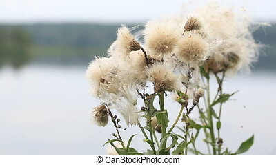 Fluffy plant outdoors. sway in the wind