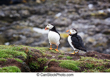 Puffins - A pair of puffins on the cliffs of Treshnish Isle,...
