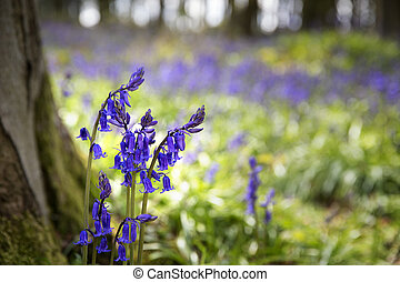 Bluebells - Closeup of bluebells in the woods. Micheldever,...