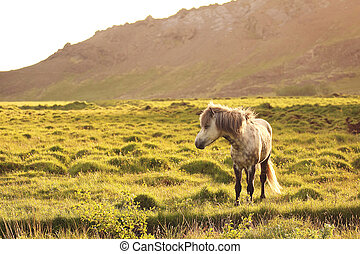 Icelandic horses - A lonley icelandic horse on a green field