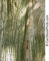 Bark of Dawn Redwood (Metasequoia) - The Dawn Redwood tree...