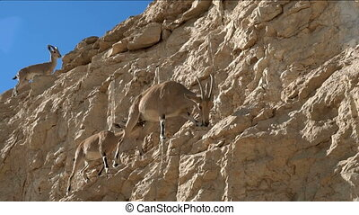 Goats walking in the mountains - Mountain goats walking in...