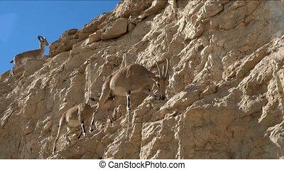 Goats walking in the mountains - Mountain goats walking in...