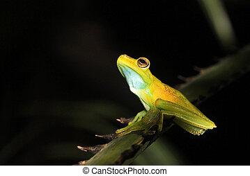 Sentado, árbol, rana,  mindo, Palma, rama,  Ecuador