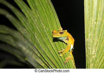Sentado, árbol, rana,  mindo, Palma, licencia,  Ecuador