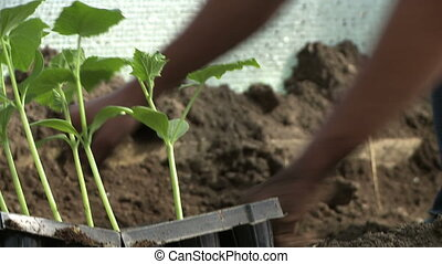 People planting seedlings. - People planting vegetable...