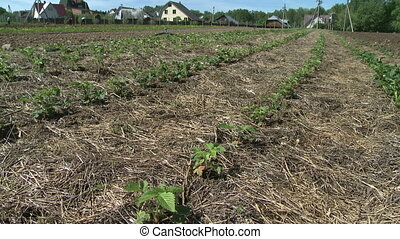 Field planted with berries. - Small town and large field...