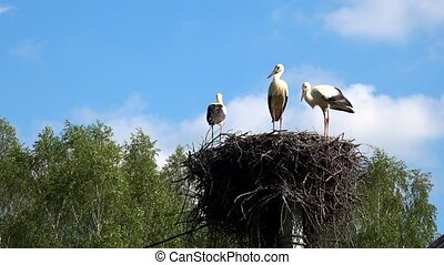 Three young storks in the nest. White stork Ciconia ciconia...