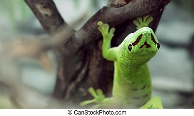 Madagascar gecko sitting on a tree, looking at the camera,...