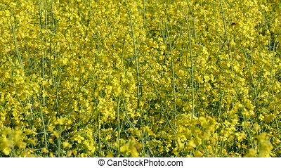 Blooming rapeseed in field - Oil canola in field in early...