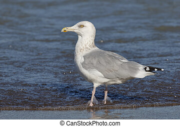 Herring Gull on the shore of Lake Huron - Ontario, Canada