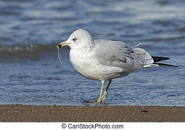 Ring-billed Gull Eating a Worm on a Lake Huron Beach - Adult...