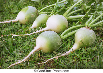 Chinese or green radish dug up and lying on the lawn