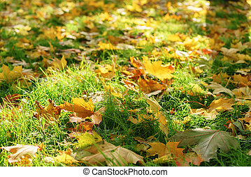 maple leaves on the ground in bright sunlight