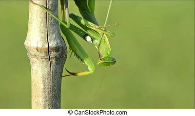Praying Mantis and Colorado beetle - Green Praying Mantis...