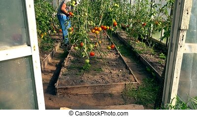 man at work in commercial greenhouse. Greenhouse produce....