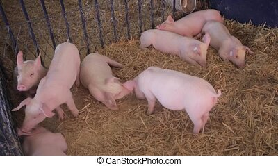 Pigs in Pen - Small Pigs in Pen at Farm