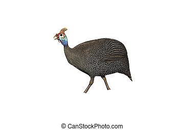 Helmeted guineafowl, Numida meleagris, single bird on...