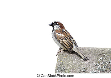 House sparrow, Passer domesticus. single male on tiled roof,...