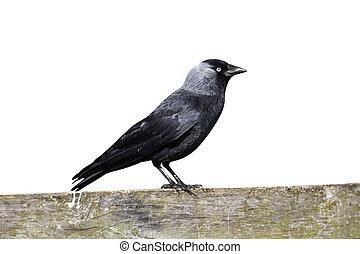 Jackdaw, Corvus monedula, single bird on fence,...
