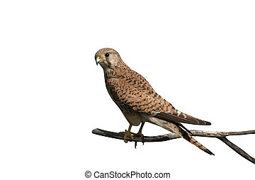 Kestrel, Falco tinnunculus, single female on branch, Hungary