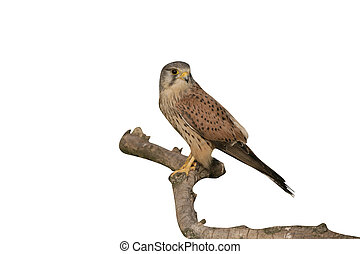 Kestrel, Falco tinnunculus, single male on branch, Hungary