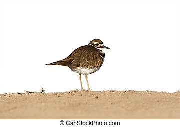 Killdeer, Charadrius vociferus, New Mexico, USA, winter