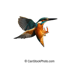 Kingfisher, Alcedo atthis, Diving for fish, Worcestershire,...