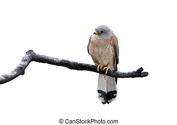 Lesser kestrel, Falco naumanni, single male on branch, Spain