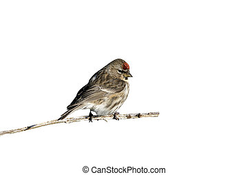 Lesser redpoll, Carduelis cabaret, single male on branch,...