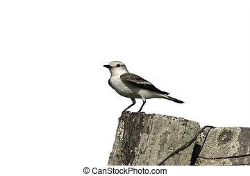 Masked water-tyrant, Fluvicola nengeta, single bird on post,...