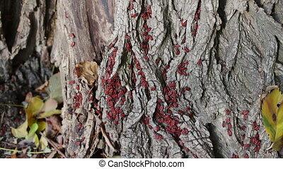 The firebug or Pyrrhocoris apterus