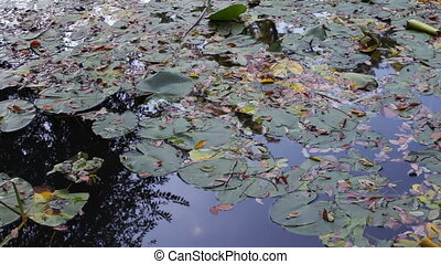 pond with water lilies in the park - small round pond with...