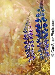 flowers lupine - Vintage flowers lupine at sunrise