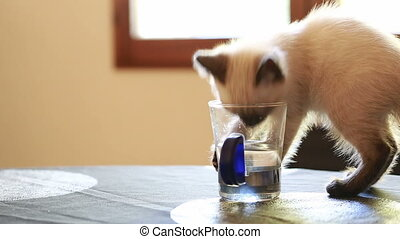 Cute Little Siamese Kitten Drinking Water and Playing With...
