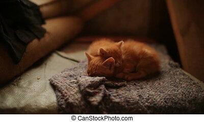 Cute Sleepy Orange Kitten
