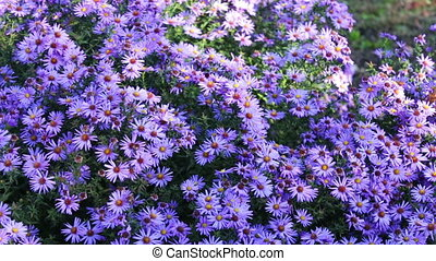 Autumn garden flowers - beautiful purple flowers in autumn...