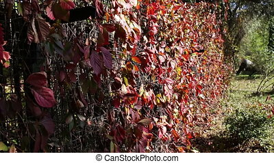 Red ivy leaves in autumn park