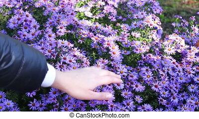 Autumn garden flowers - beautiful purple flowers in autumn...