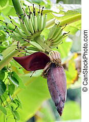 banana tree flowers - young green bananas and flowers on...