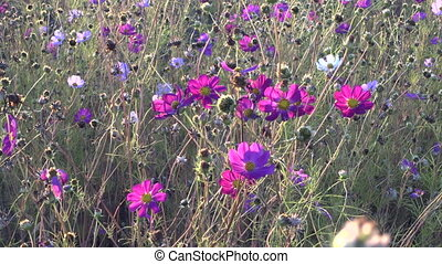 Field with white and pink cosmos flowers sway on the wind,...