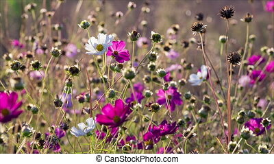 White and pink cosmos flowers sway on the wind, calm natural...