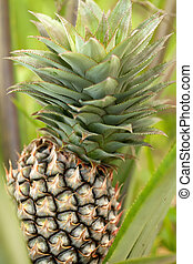 pineapple plant and fruit in asian orchard